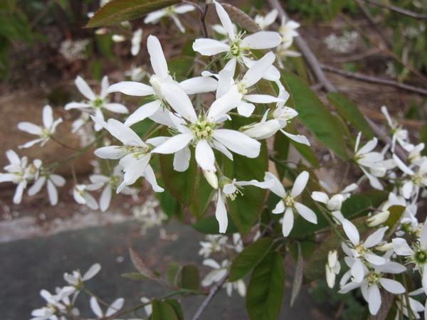 ジュンベリーの花のサムネイル