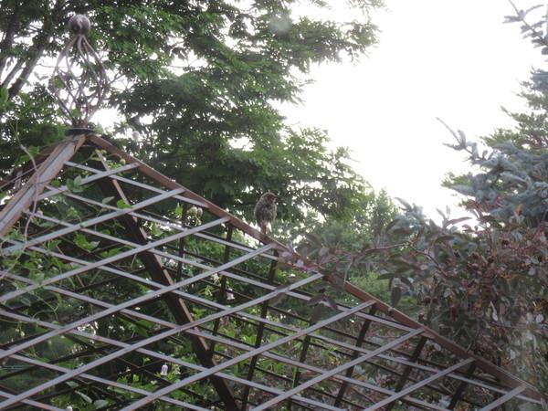 巣だったヤマガラが時折顔を見せにやって来る