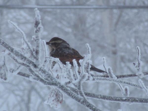 大雪の朝・・・寒さに耐える鳥